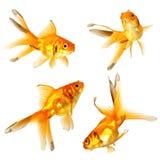 Peixes do ouro Foto de Stock Royalty Free