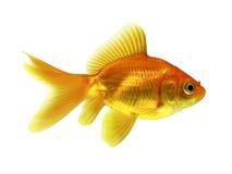 Peixes do ouro Imagens de Stock