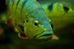 Peixes do ouro com olho roxo Imagem de Stock Royalty Free