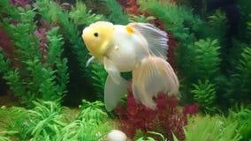Peixes do ouro de Lionhead no aquário Imagens de Stock Royalty Free