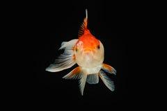 Peixes do ouro de Oranda isolados Fotos de Stock Royalty Free