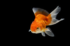 Peixes do ouro de Oranda isolados Imagem de Stock Royalty Free