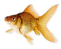 Peixes do ouro no fundo branco Foto de Stock Royalty Free