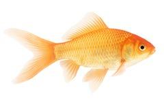 Peixes do ouro no fundo branco Fotografia de Stock Royalty Free