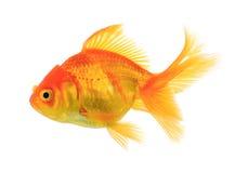 Peixes do ouro no fundo branco Fotos de Stock