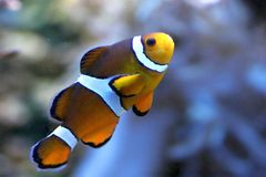 Peixes do palhaço Imagem de Stock Royalty Free