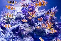 Peixes do palhaço Foto de Stock