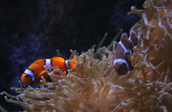 Peixes do palhaço em Lisboa Oceanarium foto de stock