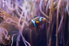 Peixes do palhaço na mar-anêmona imagens de stock