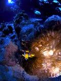 Peixes do palhaço na versão coral do underwater/HDR Imagens de Stock
