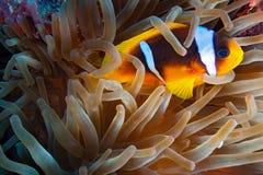 Peixes do palhaço no recife imagens de stock royalty free