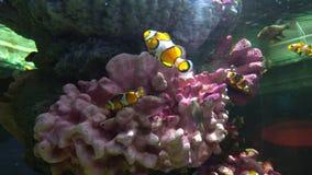 Peixes do palhaço que escondem entre os corais na água do mar video estoque