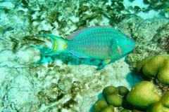 Peixes do papagaio imagem de stock