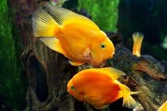 Peixes do papagaio no aquário Fotografia de Stock Royalty Free