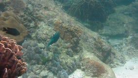 Peixes do papagaio sob o mar filme