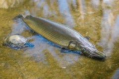 Peixes do peixe-agulha Imagem de Stock