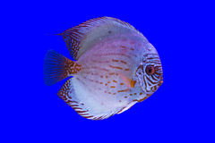 Peixes do Pompadour Foto de Stock