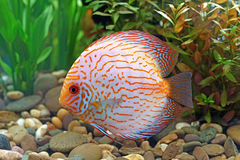Peixes do Pompadour ou do symphysodon Imagem de Stock Royalty Free