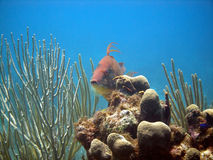 Peixes do porco Fotos de Stock