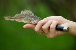Peixes do rascasso a lâmina de faca Foto de Stock Royalty Free