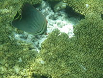 Peixes do recife Imagem de Stock Royalty Free