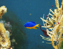 Peixes do recife de corais na água Fotografia de Stock