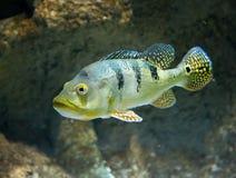 Peixes do rio de Cichla Azul subaquáticos Fotos de Stock