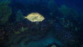 Peixes do ` s de Peter, peixe-galo, natação dos peixes de Faber do zeus no azul profundo filme