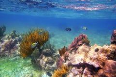 Peixes do sargento major no recife do Cararibe México Foto de Stock