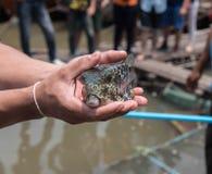 Peixes do soprador no mar, Tailândia imagem de stock royalty free