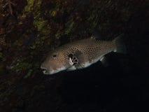 Peixes do soprador que escondem em uma sombra Fotografia de Stock
