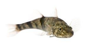 Peixes do streber de Rhone de encontro ao fundo branco Fotografia de Stock