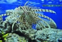 Peixes do tigre Foto de Stock