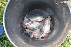 Peixes do Tilapia armazenados em um recipiente fotografia de stock
