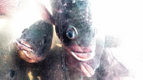 Peixes do Tilapia em um tanque Imagens de Stock
