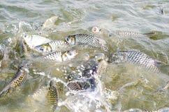 Peixes do Tilapia que comem o alimento. Imagem de Stock Royalty Free