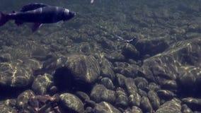 Peixes do timalo no gancho subaquático na pesca no rio Temnik da montanha filme
