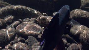 Peixes do timalo subaquáticos na pesca no rio Temnik da montanha video estoque
