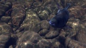 Peixes do timalo subaquáticos na pesca no rio Temnik da montanha vídeos de arquivo