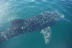 Peixes do tubarão de baleia no mar Fotografia de Stock