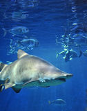 Peixes do tubarão, tubarão de touro, peixe marinho subaquático Imagens de Stock