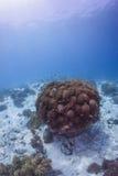 Peixes dos squamipinnis de Anthias com recife coral Imagens de Stock Royalty Free