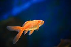 Peixes dourados 2 Fotografia de Stock