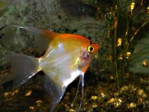 Peixes dourados Foto de Stock Royalty Free