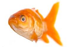 Peixes dourados fotos de stock