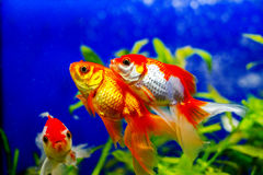 Peixes dourados bonitos do aquário Fotografia de Stock Royalty Free