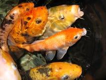 Peixes dourados bonitos que espirram na grande carpa da água no aquário do rio fotografia de stock royalty free