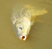 Peixes dourados da barriga do amarelo da vara Imagem de Stock Royalty Free