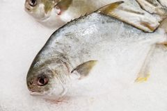 Peixes dourados das xaputas no gelo fotos de stock