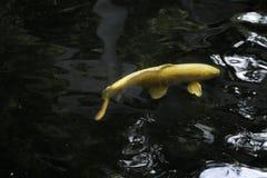 Peixes dourados em Japão Fotografia de Stock